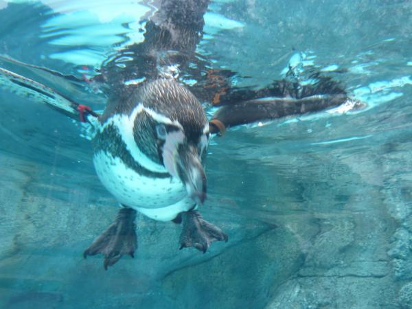 ペンギン正面アップ6