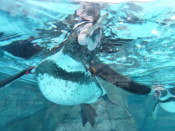 ペンギン採用アップ7