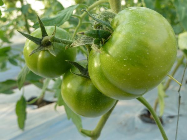 トマトアップ3