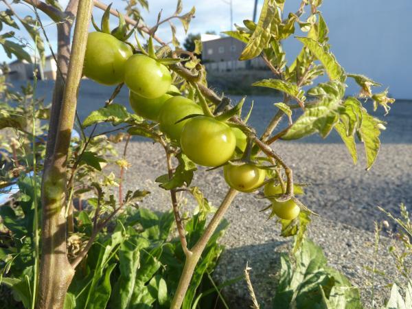 外のミニトマト9