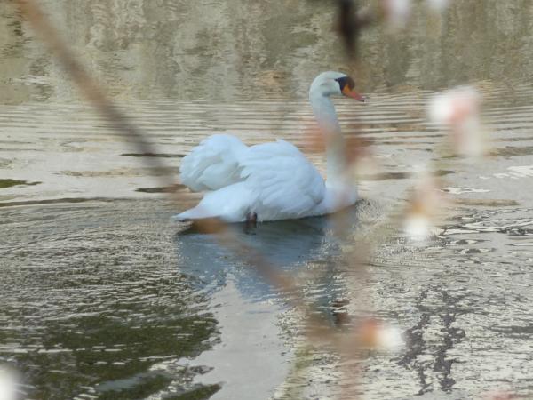 紅梅越の白鳥5