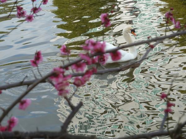 白鳥紅梅水紋4