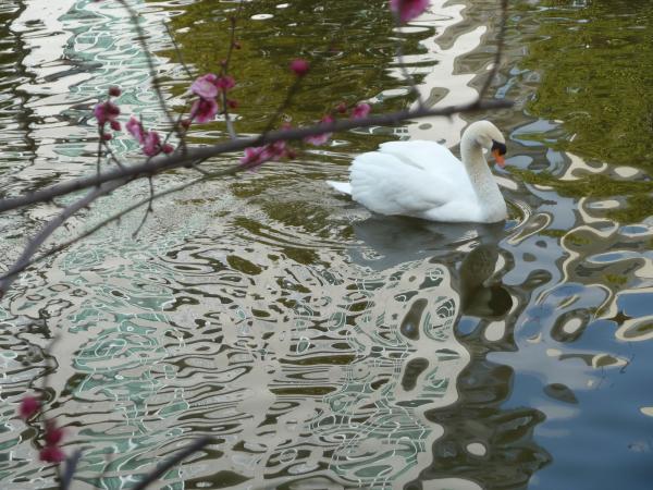 白鳥紅梅水紋3