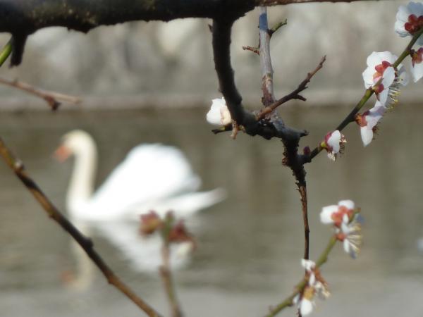 白梅アップと白鳥2