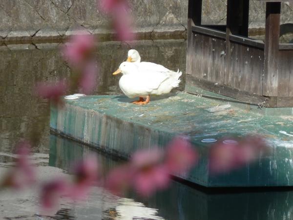 紅梅越の白鳥二羽6