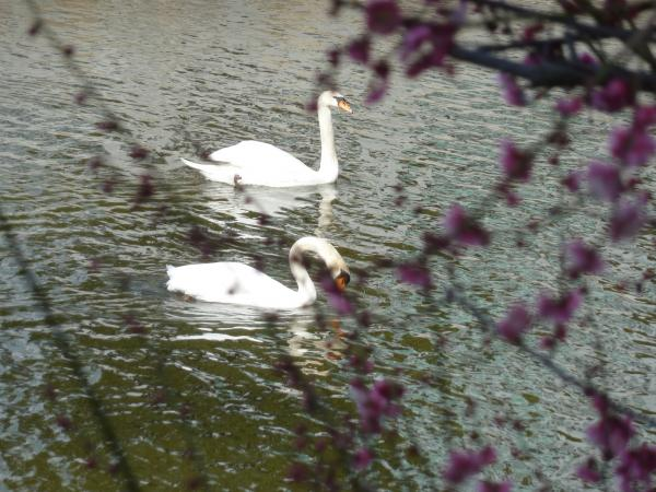 紅梅と白鳥二羽7
