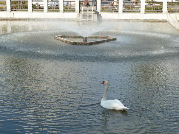 白鳥と噴水5