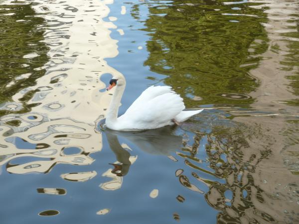白鳥と水紋3