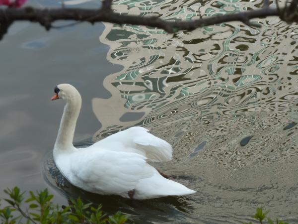 白鳥とブルー水紋4