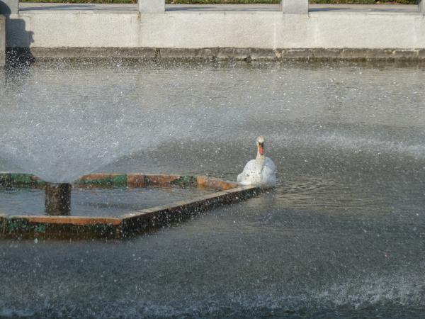 白鳥と噴水6