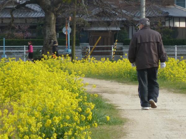 菜の花と散歩6