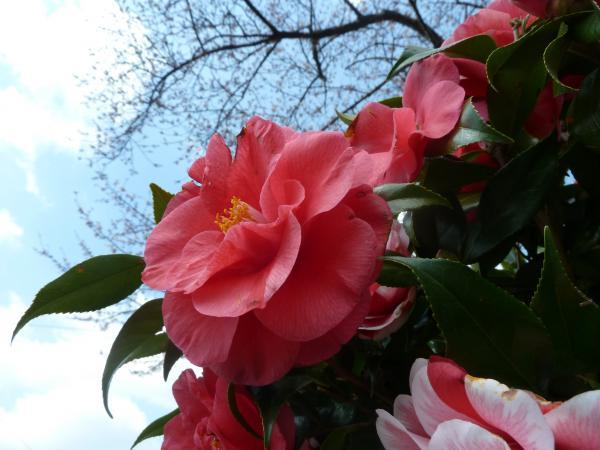 赤椿と桜3
