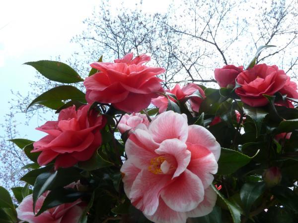 紅白椿と桜2