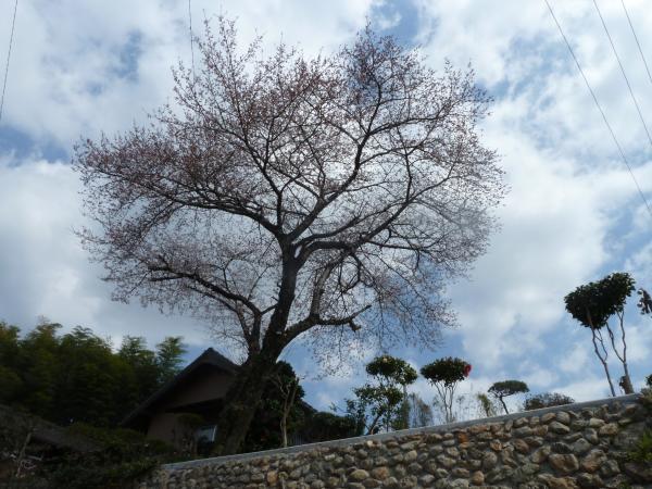 下から桜1