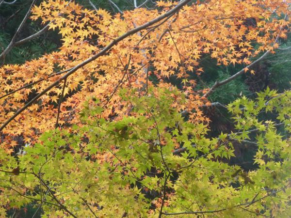 紅葉と緑5