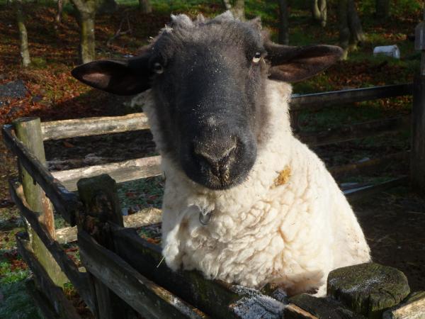 羊アップ4
