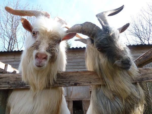 白ヤギと灰色ヤギ12