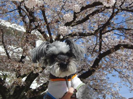 てっちゃんと桜