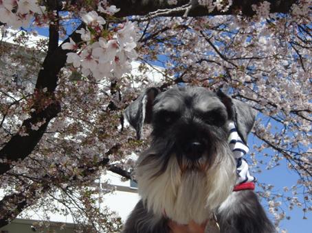 さんちゃんと桜1