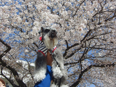 さんちゃんと桜