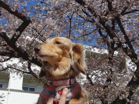 キャメルと桜1