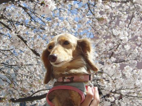 キャメルと桜