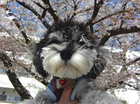 むさしと桜