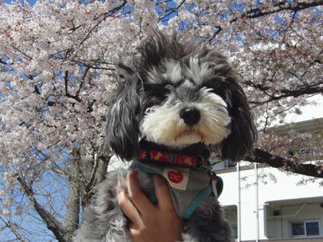 いろはと桜