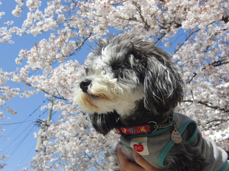 いろはと桜1