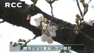 広島、桜開花2013