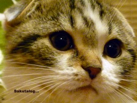 スコティッシュフォールド 子猫