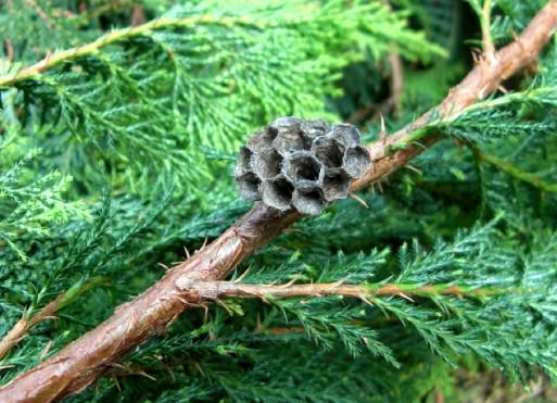 CIMG7341蜂の巣