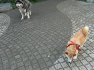 CIMG7352.ハスキー犬2JPG