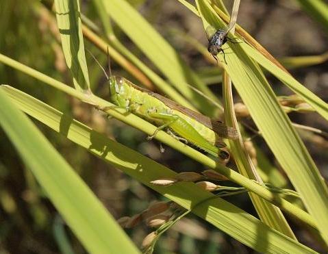 稲と虫 122