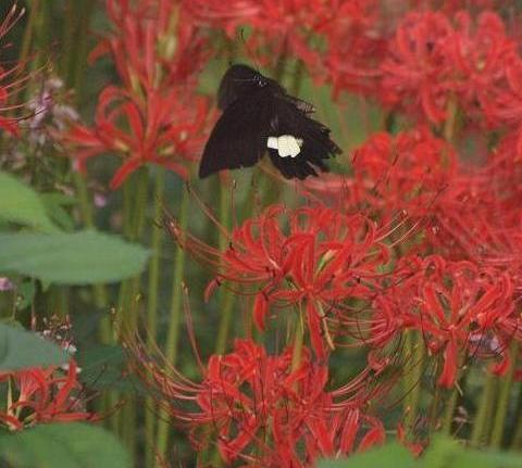 彼岸花と蝶 11