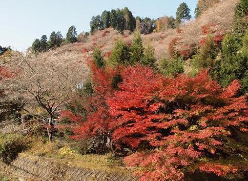 桜 紅葉 052