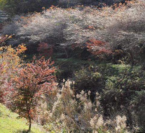 桜 紅葉 ススキ 50