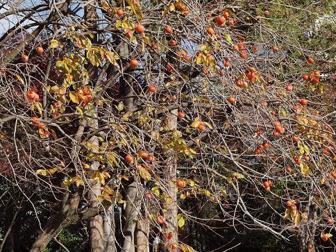 柿の木 120