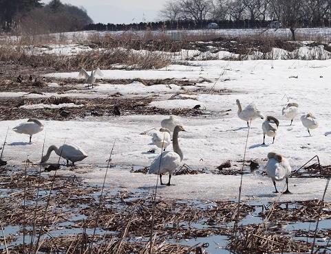 白鳥たち 037