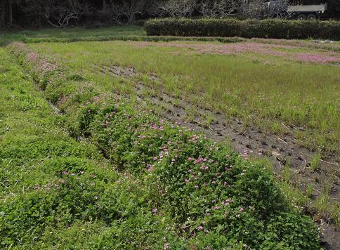 レンゲ畑 031