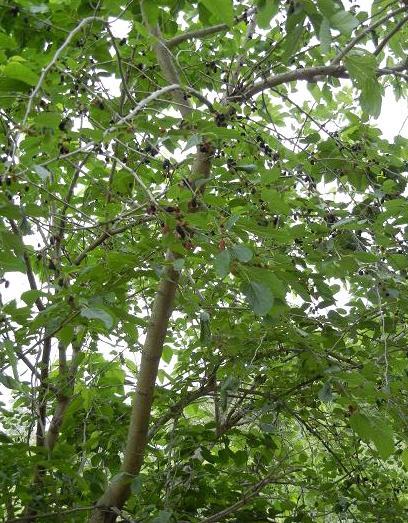 クワの木 188