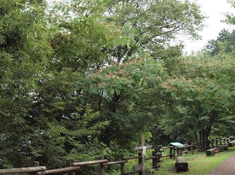 ネムの木 022