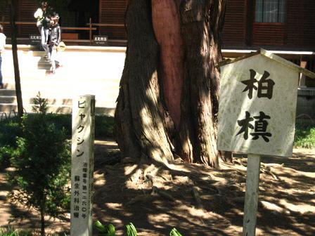 ビャクシン・円覚寺