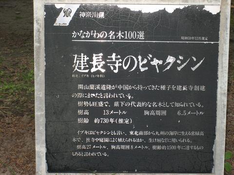 ビャクシン説明・建長寺