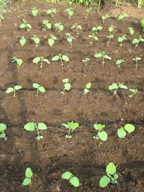 黒枝豆の植え付け・・
