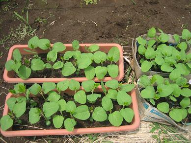 黒枝豆の苗