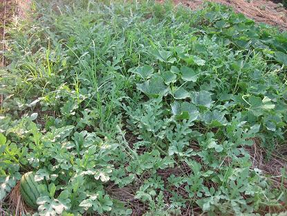 西瓜と南瓜の畑
