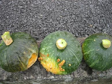 南瓜収穫^^;