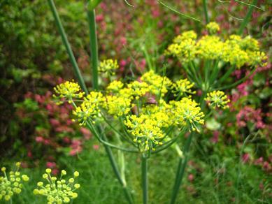 フローレンスフェンネルの花
