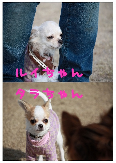 ★チワワン☆ハウス★-ラン1